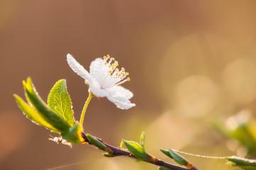 Blüte mit Morgentau