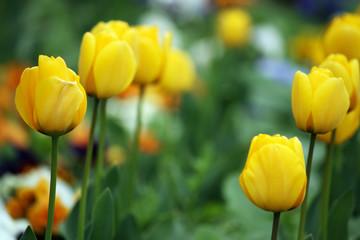 yellow tulip flowers spring season