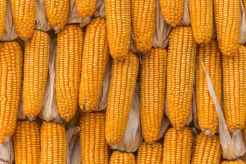 Sweet Corn Agricultural products in farm