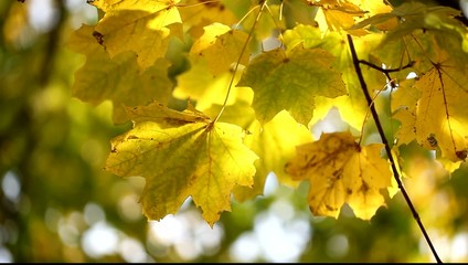 Yellow maple leaves on the wind.