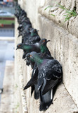 Feral pigeons on the wall of New Mosque, Istanbul, Turkey poster