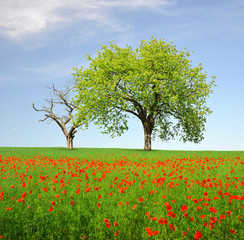 Spring landscape with tree and poppy field