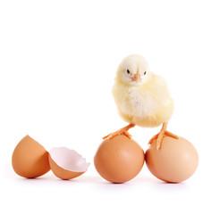 Kleines Küken mit Eiern
