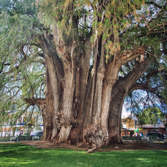 Famous 2000 year old Montezuma cypress tree in Tule'