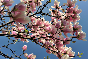 magnolia, springtime, pink, nature, tree, flower