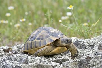 The spur-thighed tortoise or Greek tortoise (Testudo graeca)