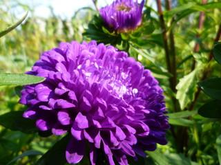 Violet asters