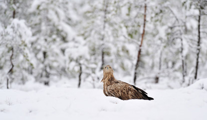 White-tailed eagle on snow in the bog