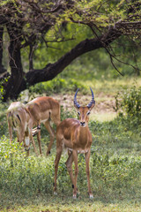 A herd of male impala, Aepyceros melampus, standing in the veget