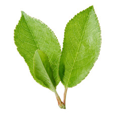 Cherry leaves isolated