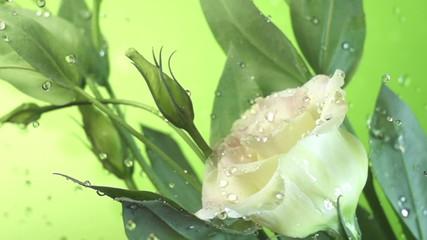 Blossom white flower under raindrops