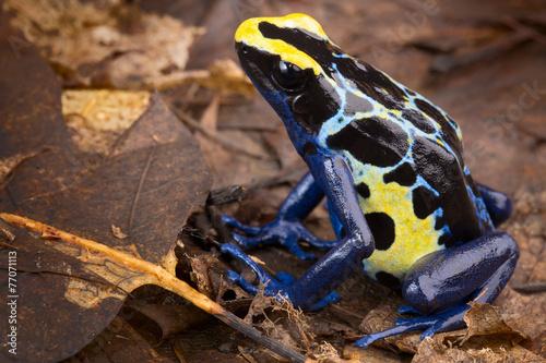 Fotobehang Kikker Poison dart frog