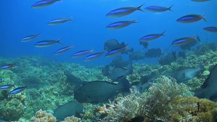 Shoal of Humphead Parrotfish on a coral reef
