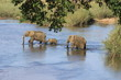 Elefantenfamilie durchquert Fluß Krüger Nationalpark Südafrika