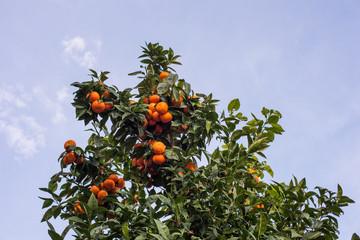 Pianta di arance, mandarini, agrumi agricoltura