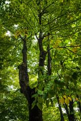 Albero di Platano, foglie chioma e tronco, campagna