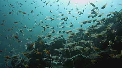 Shoal of Glassfish (Golden Sweepers) in clear blue water
