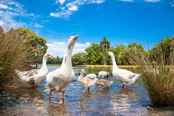Goose family in Centennial Park, Sydney, Australia.