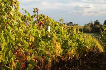 vignoble bordelais à l'automne