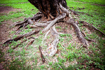 Tree Roots in a jungle Forest