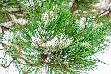 closeup view of a branch on fir tree with first snow