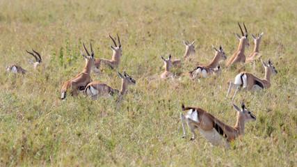Herd of running Thomson's gazelles