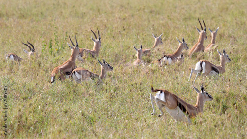 Herd of running Thomson's gazelles