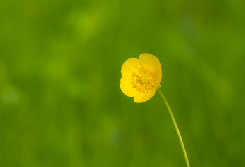 Wild Ranunculus (Buttercup) flower in loneliness