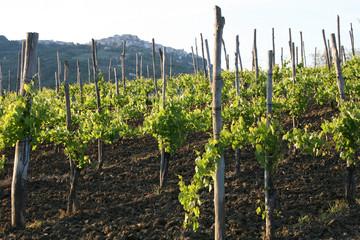 Aglianico - Vineyard