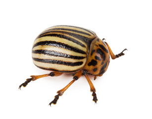 Colorado beetle isolated on the white background