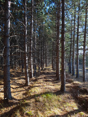 Looking Down Rows of Pines