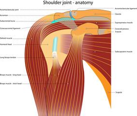 Schultergelenk – Anatomie – mit Bezeichnung