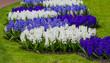 Beautiful spring flowers. hyacinths. spring garden. Colorful flo