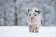 Happy Piglet in Snow - 77101182