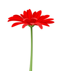 Red gerbera with stem. Vector illustration.
