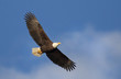 Bald Eagle Soaring - 77115977