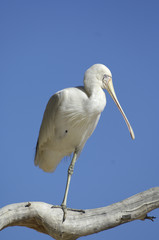 yellow billed spoonbill,Cooper creek South Australia.