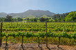 Constantia grape wineland countryside landscape - 77119567