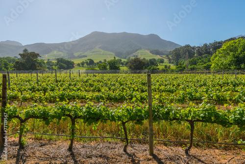 Plexiglas Cultuur Constantia grape wineland countryside landscape