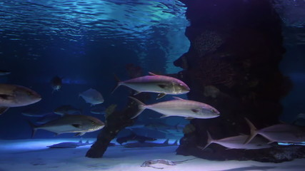 School of Tuna Swimming in Aquarium.