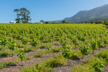 Constantia grape wineland countryside landscape