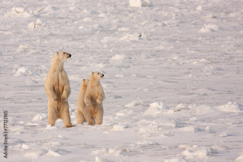 In de dag Antarctica 2 Polar Bear Mother and Cubs Standing on Hind Legs