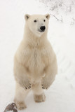 Adult Polar Bear Standing on Hind Legs