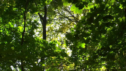 Sun Breaking Through Green Leaves.