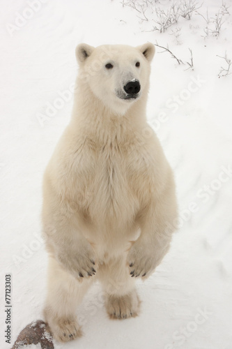 Tuinposter Ijsbeer Adult Polar Bear Standing on Hind Legs