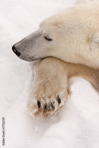 Staande foto Antarctica 2 Adult Polar Bear with Head Resting on Paw