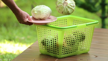 man pours cabbage to basket for cooking traditional ukrainian na