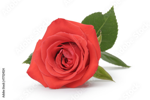 Papiers peints Roses single red rose isolated on white
