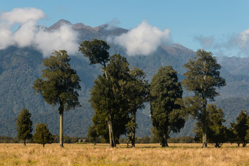 podocarp trees growing in New Zealand