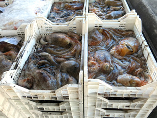 octopuses and octopi freshly caught in the port of Italy